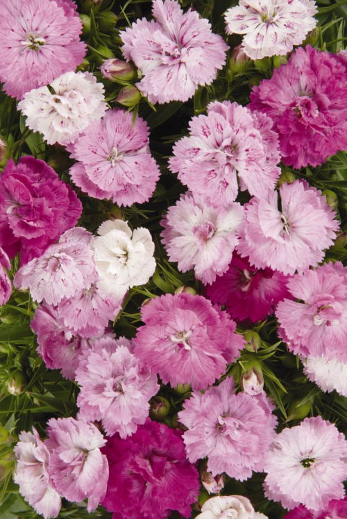 dianthus_dynasty_pink_magic