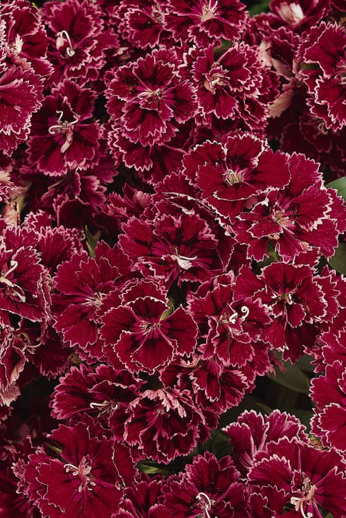 dianthus_dynasty_rose_coral