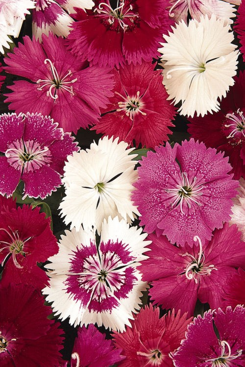 dianthus_ideal_select_mix