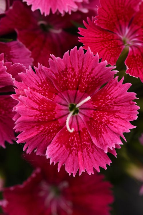 dianthus_ideal_select_raspberry