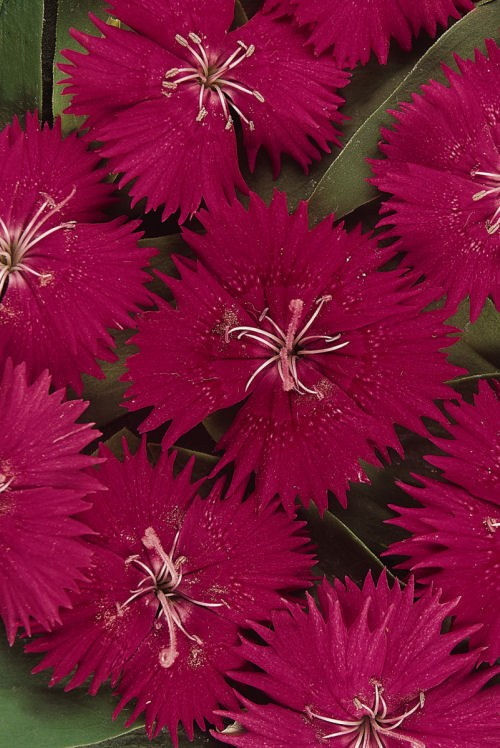 dianthus_ideal_select_rose