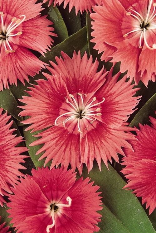 dianthus_ideal_select_salmon