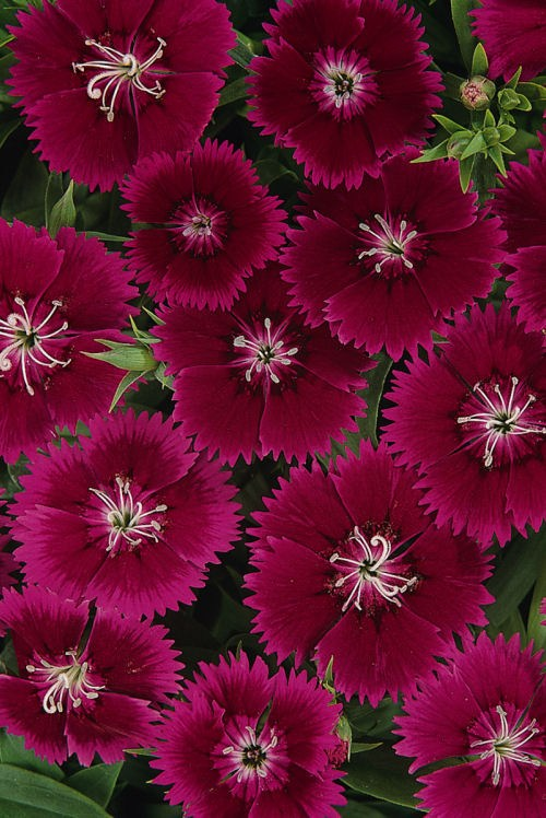 dianthus_ideal_select_violet