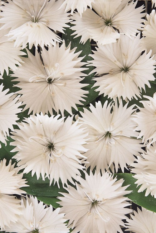 dianthus_ideal_select_white