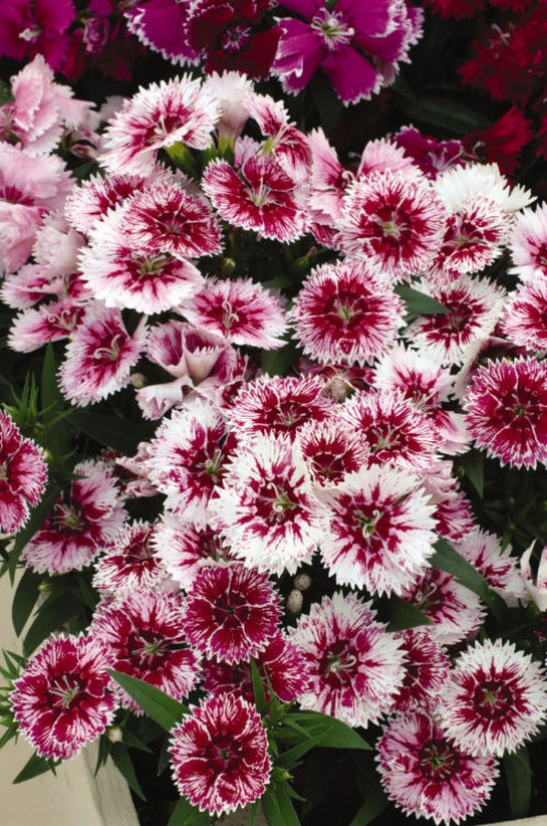 dianthus_ideal_select_white_fire2