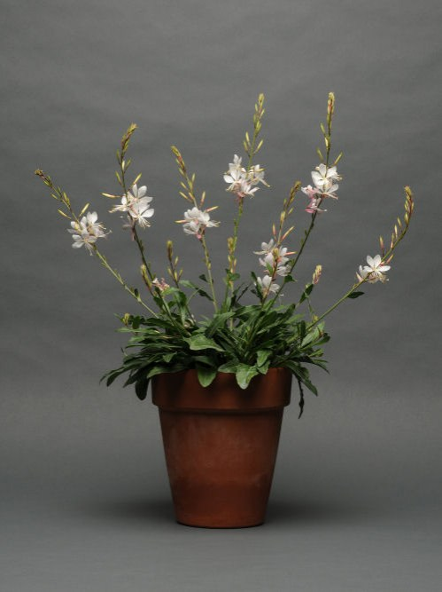gaura_sparkle_white
