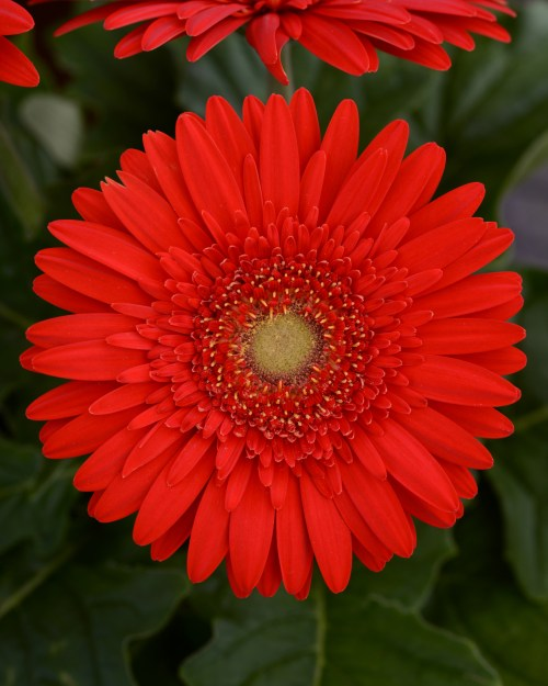 gerbera_mega_revolution_scarlet_red_light_eye_2.jpg