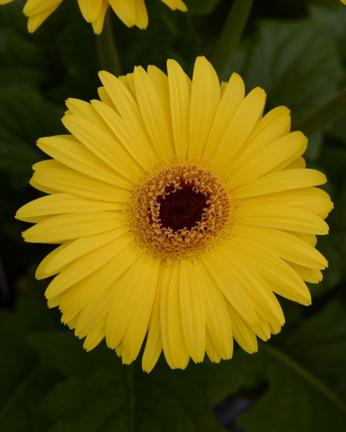 gerbera_mega_revolution_yellow_dark_eye.jpg
