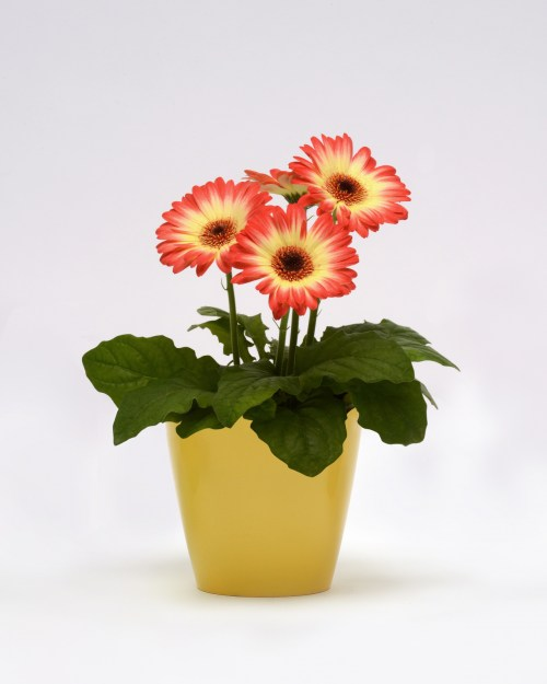 gerbera_revolution_bicolor_red_lemon.jpg