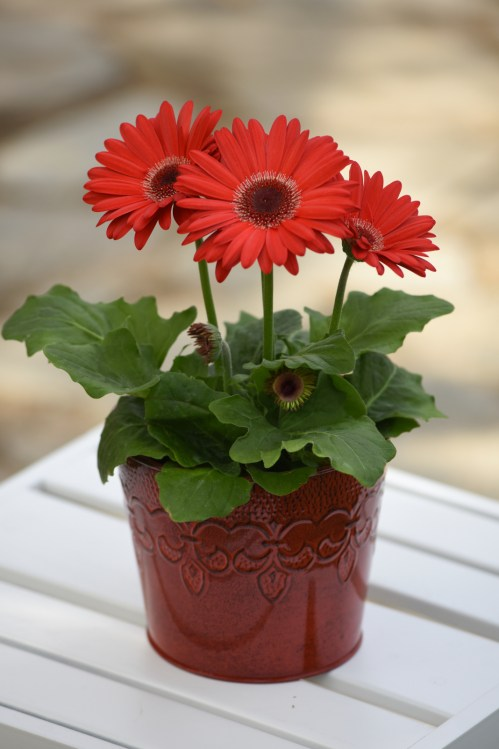 gerbera_revolution_red_dark_eye_improved_2.jpg