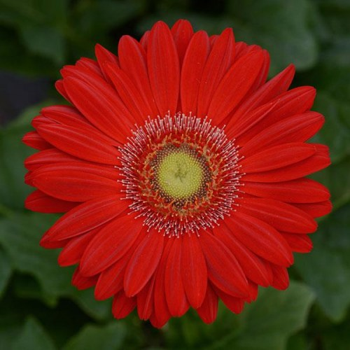 gerbera_revolution_red_light_eye.jpg