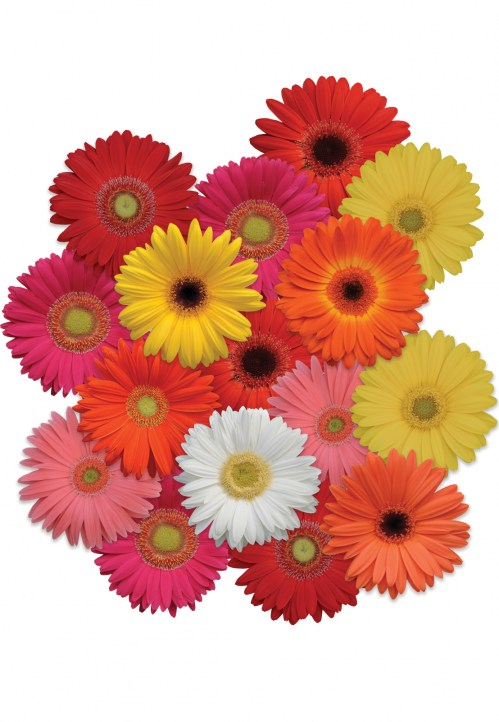gerbera_revolution_select_mix.jpg