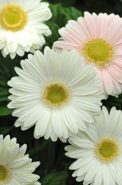 gerbera_revolution_white_light_eye_2.jpg