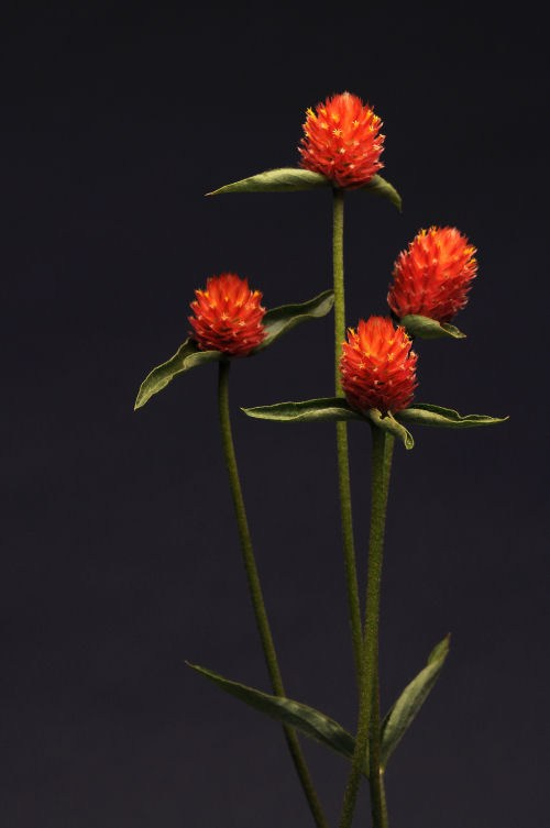 gomphrena_qis_orange
