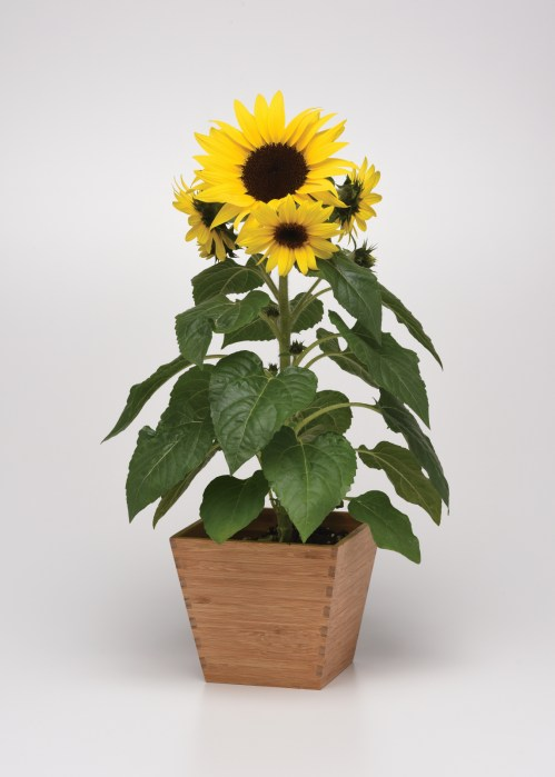 helianthus_sunbuzz_2.jpg