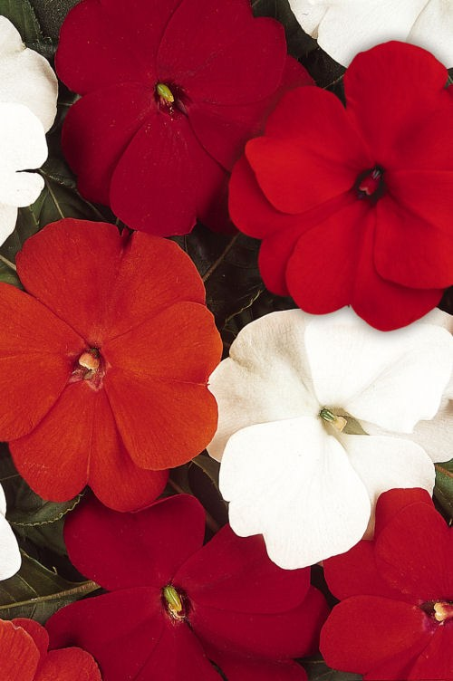 impatiens_divine_salsa_mix