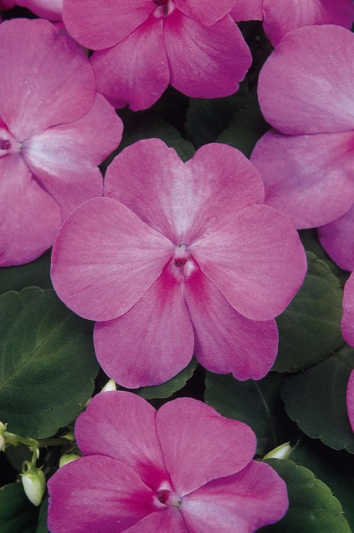 impatiens_super_elfin_xp_blue_pearl
