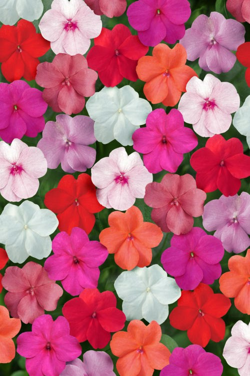 impatiens_super_elfin_xp_clear_mix