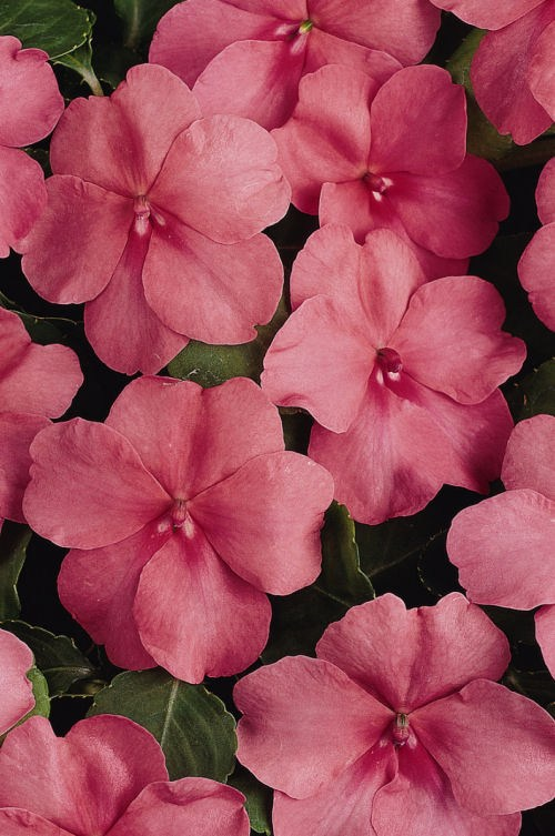 impatiens_super_elfin_xp_coral