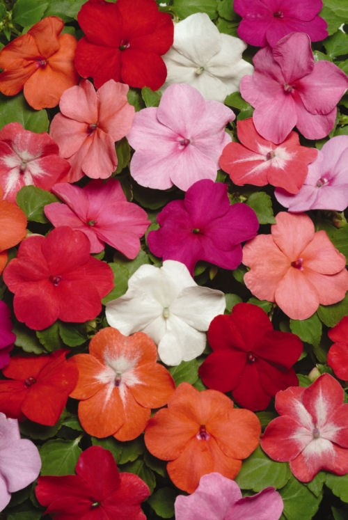 impatiens_super_elfin_xp_formula_mix