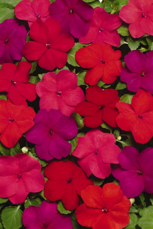 impatiens_super_elfin_xp_hot_mix