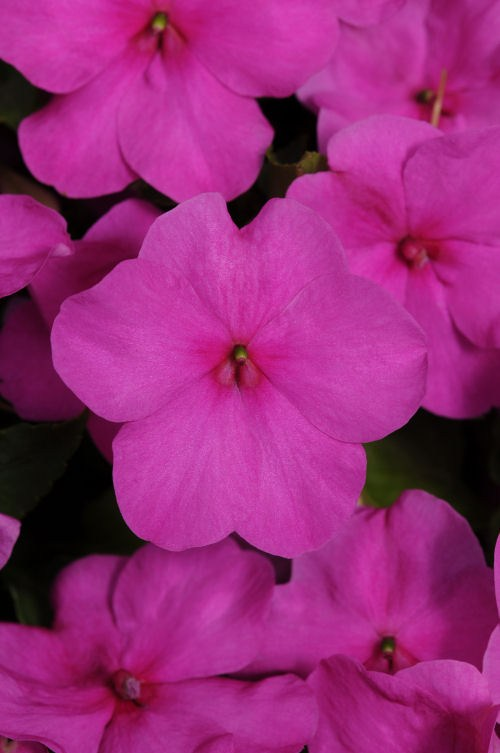 impatiens_super_elfin_xp_lilac