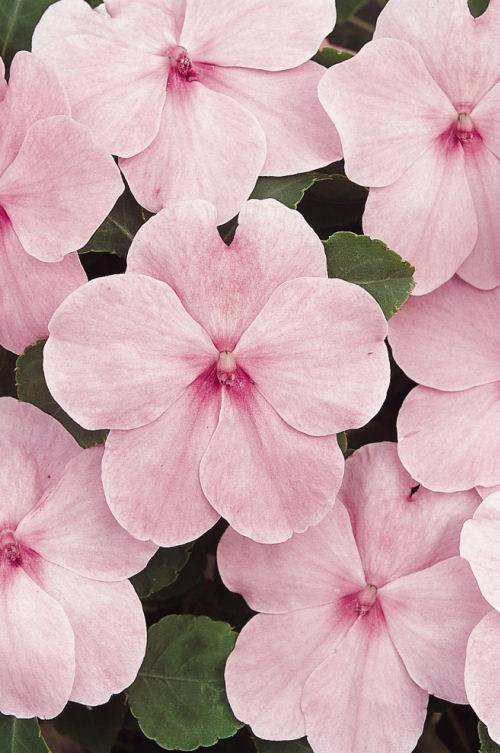 impatiens_super_elfin_xp_pink_