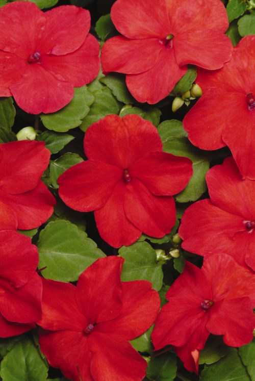 impatiens_super_elfin_xp_punch