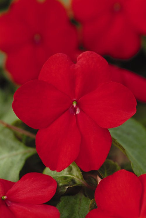 impatiens_super_elfin_xp_red