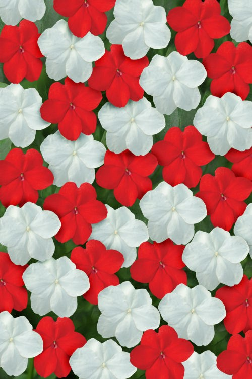 impatiens_super_elfin_xp_red_white_mix