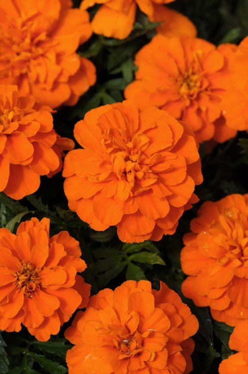 marigold_bonanza_deep_orange