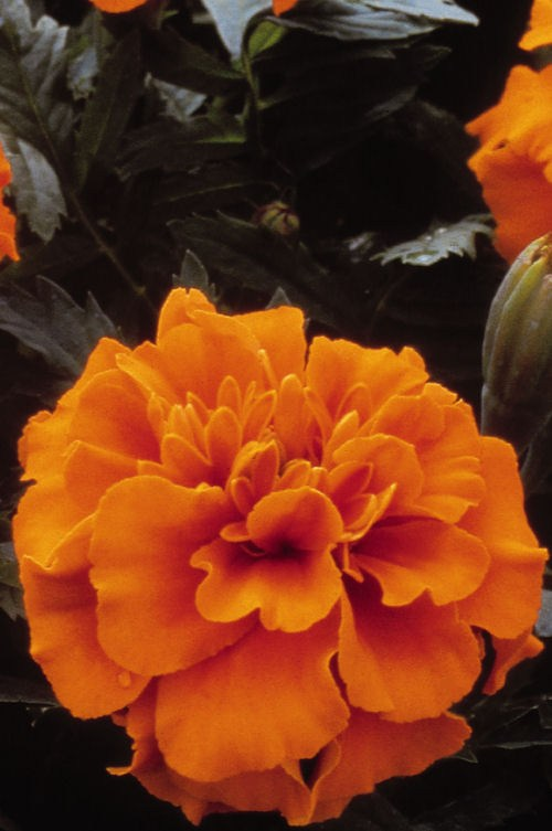marigold_janie_deep_orange