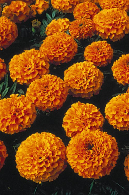 marigold_lady_orange