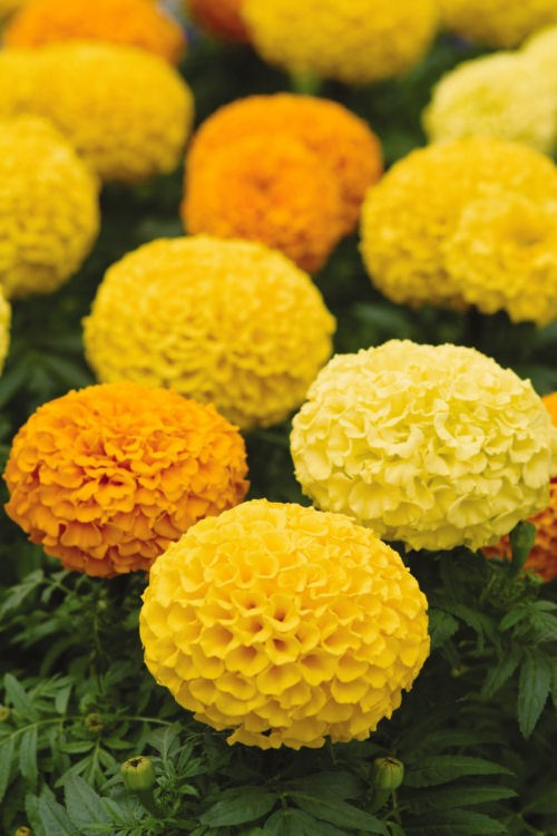 marigold_marvel_mix