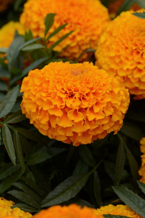 marigold_marvel_orange