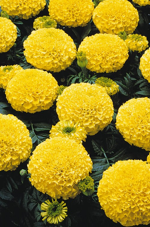 marigold_marvel_yellow