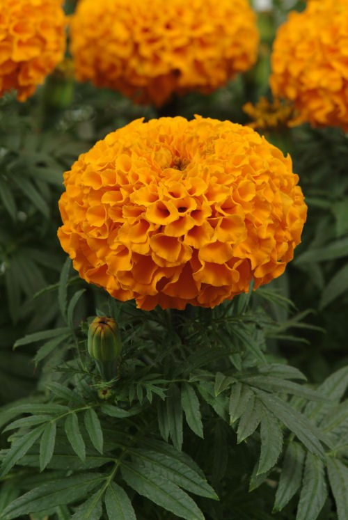 marigold_taishan_orange