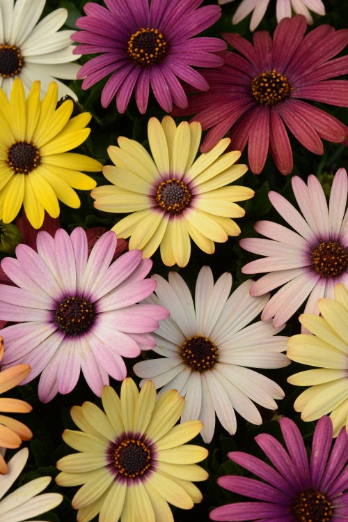 osteospermum_akila_grand_canyon_mix