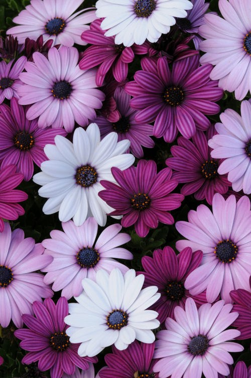 osteospermum_akila_mixture