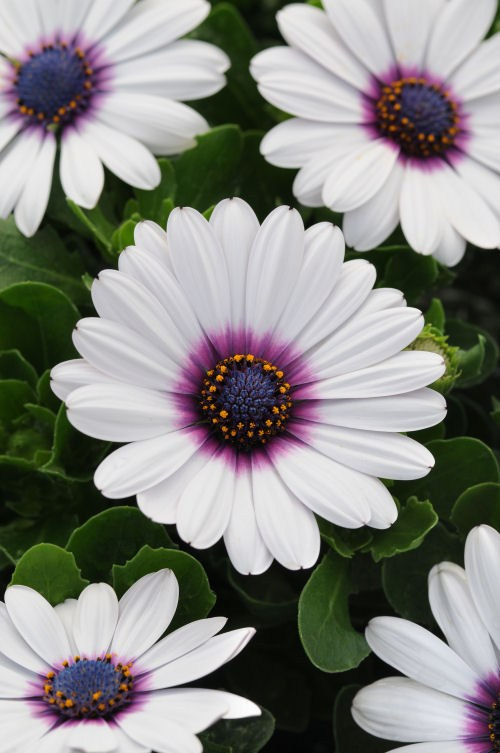 osteospermum_akila_white_purple_eye