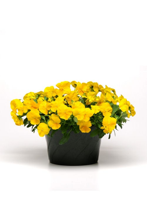 pansy_cool_wave_golden_yellow