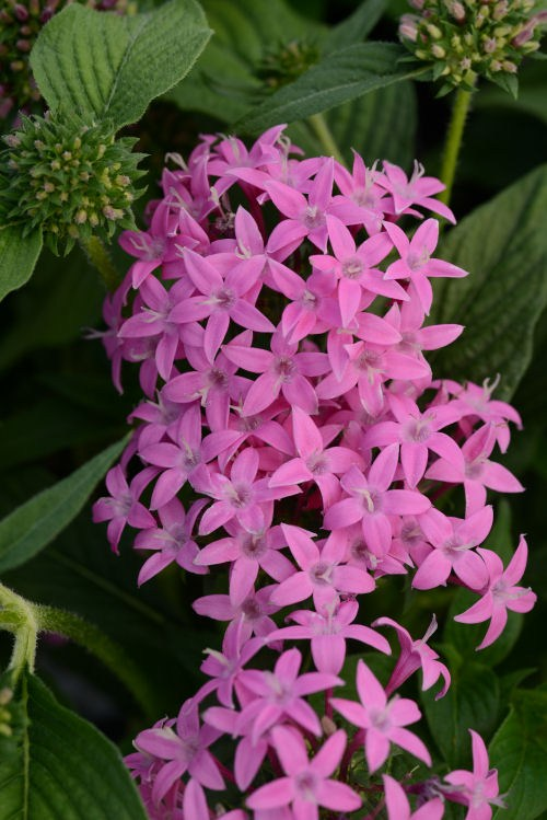 pentas_butterfly_orchid