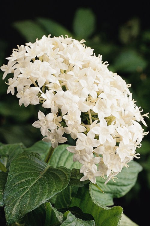 pentas_butterfly_white