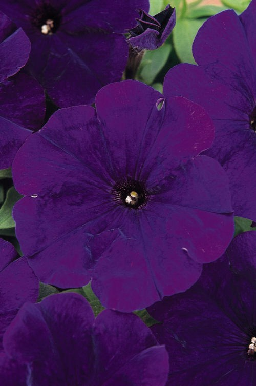 petunia_carpet_blue