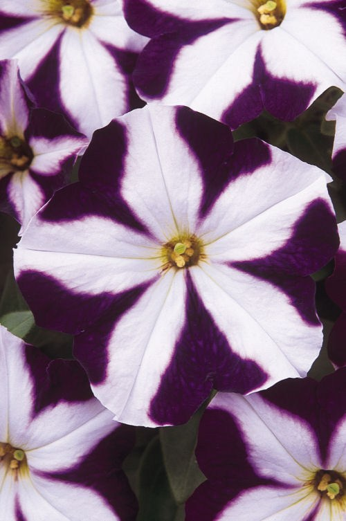 petunia_carpet_blue_star