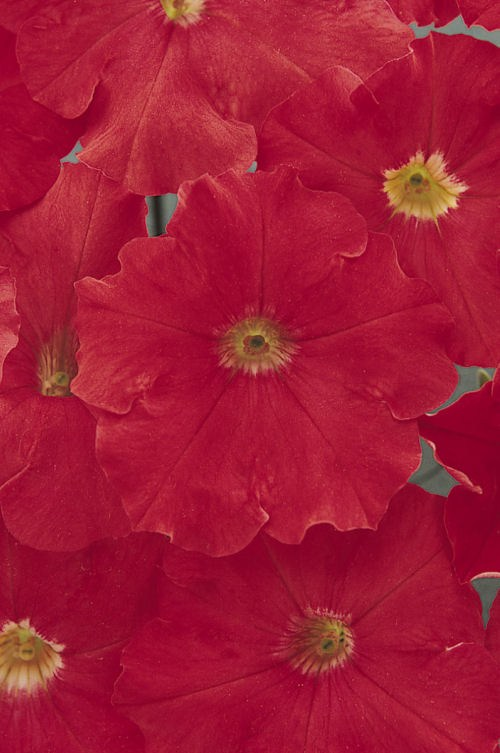 petunia_carpet_bright_red