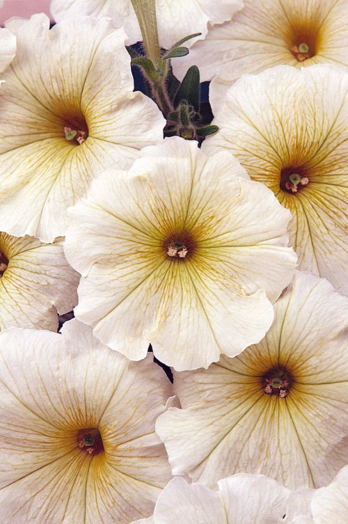 petunia_carpet_buttercream