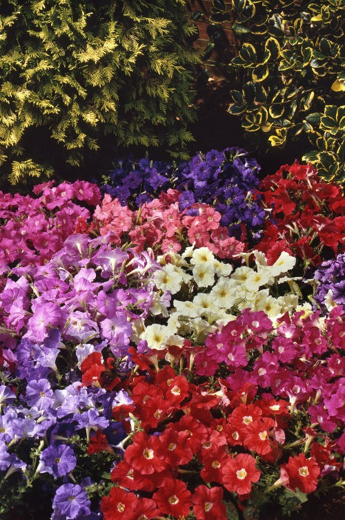 petunia_carpet_mix