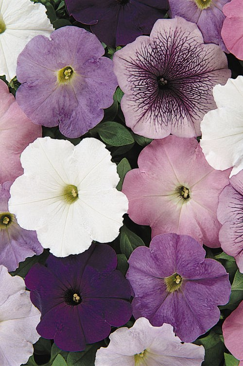 petunia_carpet_neptun_mix