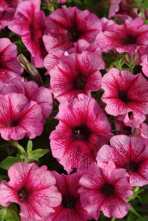 petunia_carpet_plum